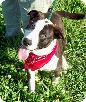 Labrador Retriever/Boston Terrier Mix Dog for adoption in Leland, Mississippi - SPOT
