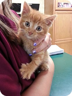 Domestic Shorthair Kitten for adoption in New London, Wisconsin - Blake