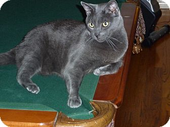 Russian Blue Cat for adoption in Burbank, California - RUSSIAN BLUE Cats BONDED PAIR