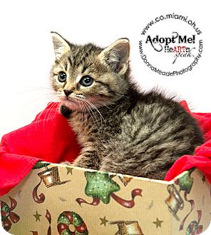 Domestic Shorthair Kitten for adoption in Troy, Ohio - Suzi