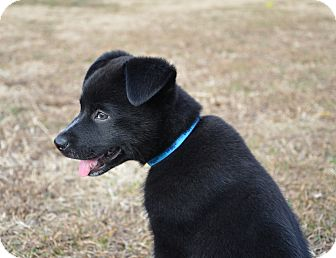 Border Collie/Husky Mix Puppy for adoption in Huntsville, Alabama - Tip