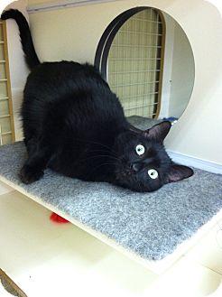 Domestic Shorthair Cat for adoption in Fredericksburg, Virginia - Chad the Goofball