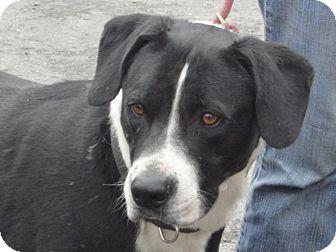 Border Collie/American Staffordshire Terrier Mix Dog for adoption in Craig, Colorado - Luke