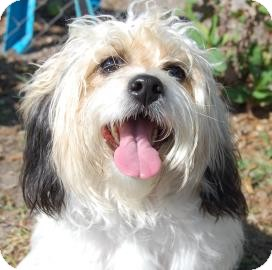 Pekingese/Poodle (Miniature) Mix Dog for adoption in Bradenton, Florida - Molly