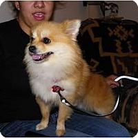 Adopt A Pet :: Bojangles - Hesperus, CO