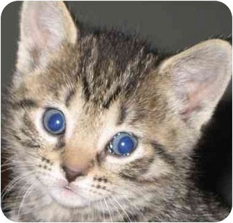 Domestic Shorthair Kitten for adoption in Tracy, California - Princess-PENDING