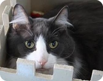 Domestic Shorthair Cat for adoption in West Des Moines, Iowa - Rico
