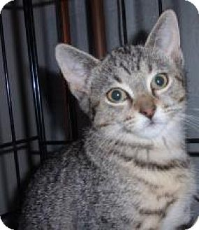 Domestic Shorthair Cat for adoption in East Brunswick, New Jersey - Annie