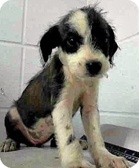 Schnauzer (Standard)/Labrador Retriever Mix Puppy for adoption in Boulder, Colorado - Mia-ADOPTION PENDING