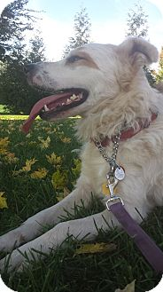 Golden Retriever/Border Collie Mix Dog for adoption in Manchester, New Hampshire - Rubble