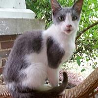 Domestic Shorthair Cat for adoption in Salisbury, North Carolina - Sharpie