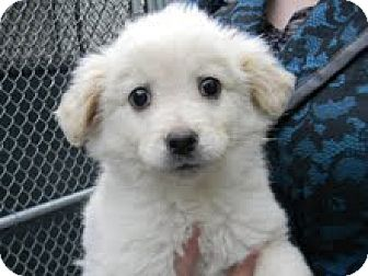 Spitz (Unknown Type, Medium) Mix Puppy for adoption in Tyner, North Carolina - Ace