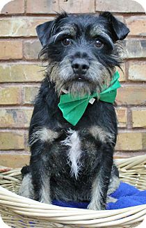 Schnauzer (Miniature) Mix Dog for adoption in Benbrook, Texas - Tuck