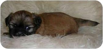 Shih Tzu Puppy for adoption in Provo, Utah - MINNIE