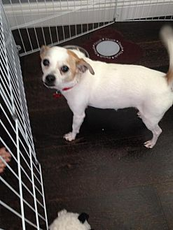 Chihuahua/Jack Russell Terrier Mix Dog for adoption in Rancho Santa Margarita, California - ZZ-Dino  **courtesy post