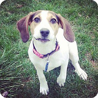Beagle/Hound (Unknown Type) Mix Puppy for adoption in Pataskala, Ohio - Lilly (adoption pending)