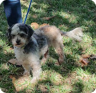 Shih Tzu/Poodle (Miniature) Mix Dog for adoption in Houston, Texas - NAVIDAD
