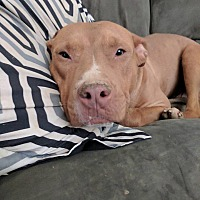 American Staffordshire Terrier/Pit Bull Terrier Mix Dog for adoption in Covington, Tennessee - Griffin