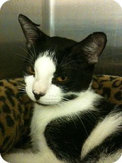 Domestic Shorthair Cat for adoption in Oviedo, Florida - Jolie