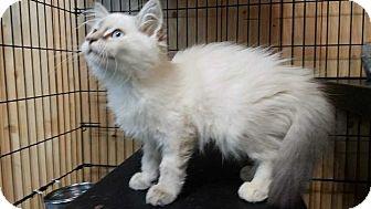 Siamese Kitten for adoption in Washington, D.C. - Lyanna (Has Application)