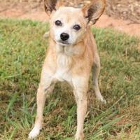 Chihuahua Mix Dog for adoption in Alpharetta, Georgia - Charlotte