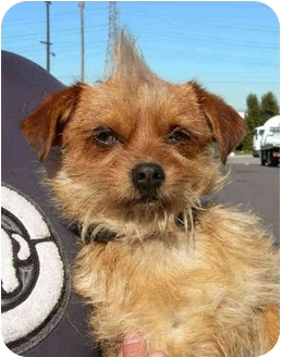 Terrier (Unknown Type, Small) Mix Dog for adoption in El Segundo, California - Moe