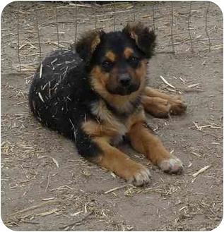 German Shepherd Dog/Australian Shepherd Mix Puppy for adoption in Pie Town, New Mexico - SPIRIT