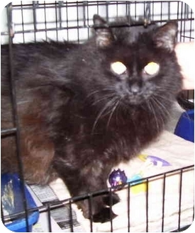 Domestic Longhair Cat for adoption in Somerset, Pennsylvania - Tinkles