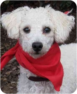 Poodle (Miniature) Dog for adoption in San Diego, California - Bonsai
