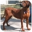 Photo 2 - Redbone Coonhound Dog for adoption in Chicago, Illinois - June