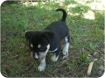 Husky Mix Puppy for adoption in White Settlement, Texas - Bambi's Mazie