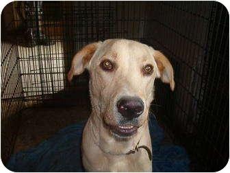 Labrador Retriever Mix Dog for adoption in North Jackson, Ohio - Rochester