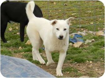 Husky Mix Dog for adoption in Lawrenceburg, Tennessee - Tyler