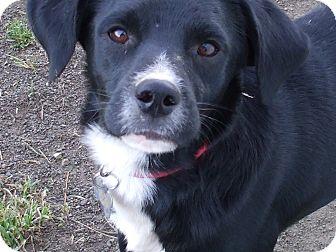 Beagle/Labrador Retriever Mix Dog for adoption in Carey, Ohio - DEANO