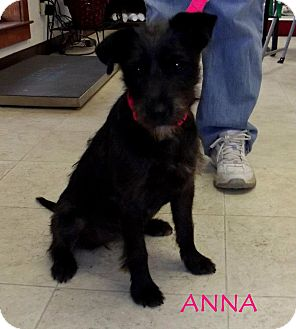 Schnauzer (Miniature) Mix Puppy for adoption in Silsbee, Texas - Anna