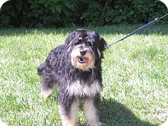 "Bearded Collie Mix Dog for adoption in New Castle, Pennsylvania - "" Hannah """