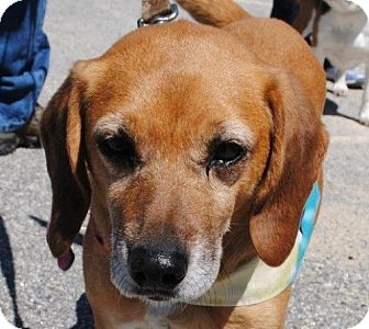 Beagle Mix Dog for adoption in Freeport, Maine - Rally
