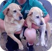 Labrador Retriever Mix Dog for adoption in Staunton, Virginia - Twyla and Tyler ($400 for pr.)