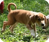 Pointer/Hound (Unknown Type) Mix Puppy for adoption in Windham, New Hampshire - Sox