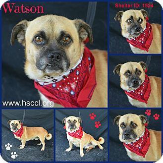 Pekingese Mix Dog for adoption in Plano, Texas - Watson