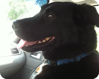 Labrador Retriever Mix Dog for adoption in Carey, Ohio - LUCY JOY