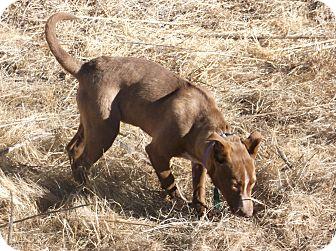 Border Collie/Blue Heeler Mix Puppy for adoption in Santa Clara, New Mexico - Bubbles