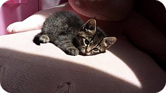 Domestic Shorthair Kitten for adoption in Naperville, Illinois - Mittens