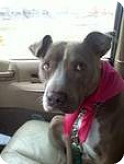 American Staffordshire Terrier Dog for adoption in Newburgh, Indiana - courtesy posting please read