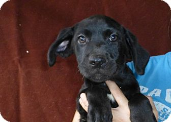 Golden Retriever Mix Puppy for adoption in Oviedo, Florida - Ty