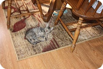 Domestic Shorthair Kitten for adoption in St. Louis, Missouri - Vinnie