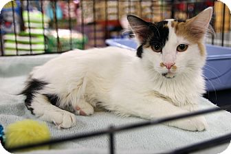 Calico Cat for adoption in Rochester, Minnesota - Lucy Sunshine