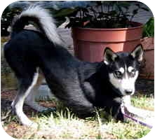 Siberian Husky Mix Dog for adoption in Houston, Texas - Sebastion