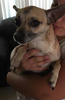 Chihuahua/Shepherd (Unknown Type) Mix Dog for adoption in Rancho Santa Margarita, California - ZZ-Precious *courtesy post
