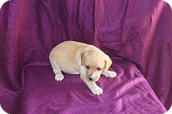 Labrador Retriever Mix Puppy for adoption in Huntsville, Alabama - Gabby